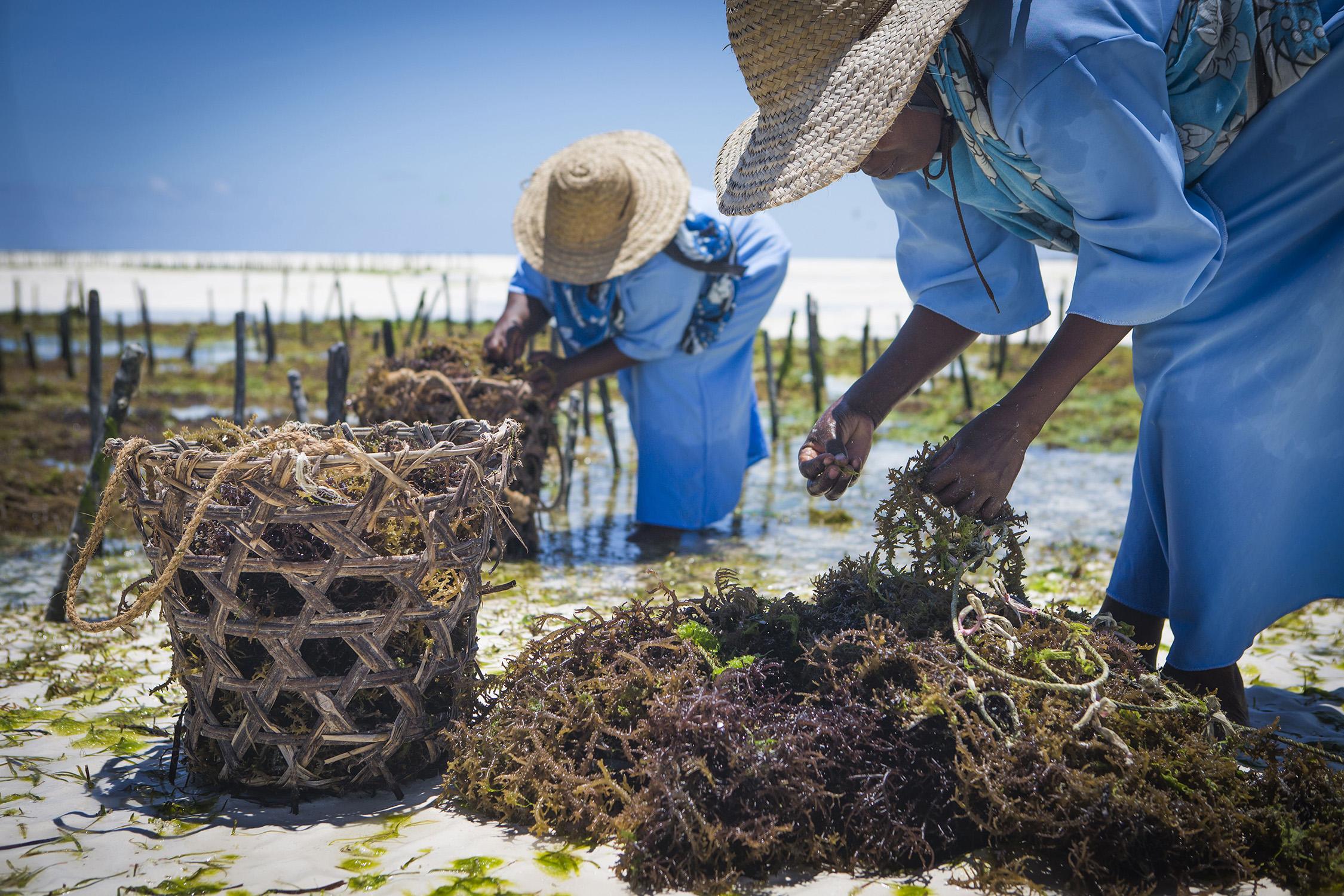 Seaweed Farming on Zanzibar